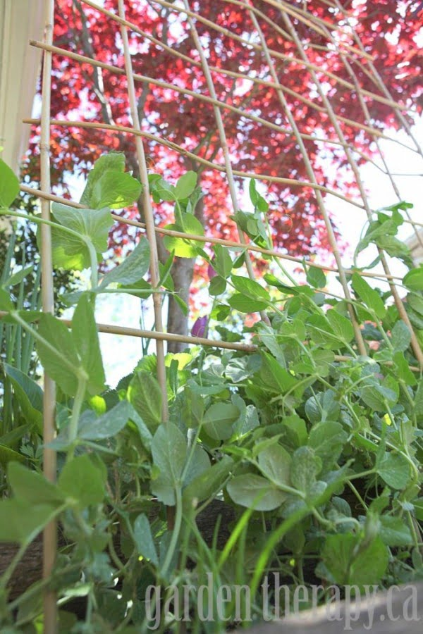 Check out how to build a DIY woven bamboo trellis in your garden